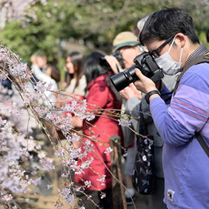 Cherry blossoms are a popular tourist attraction in Sapporo.