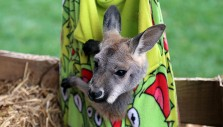 The Billy Graham Library's Live Nativity Unleashed: Roc the Kangaroo