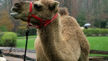 The Billy Graham Library's Live Nativity Unleashed: Milo the Camel