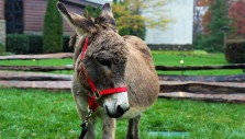 The Billy Graham Library's Live Nativity Unleashed: Lucy the Donkey