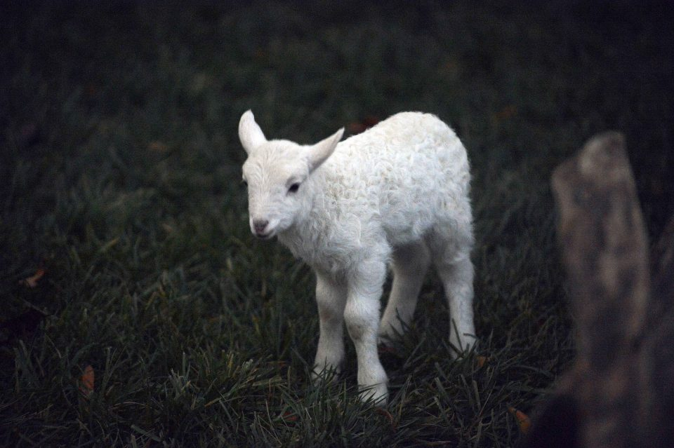 Baby lamb named Noel