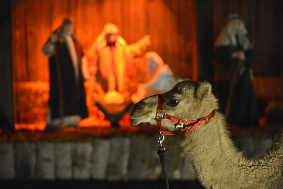 Camel in foreground; live nativity in background